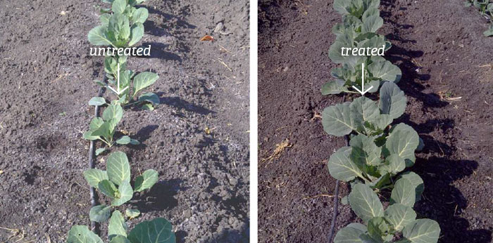 treated vs untreated crops in South Africa