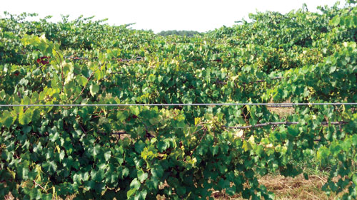 SumaGrow treated muscandine vines in Mississippi