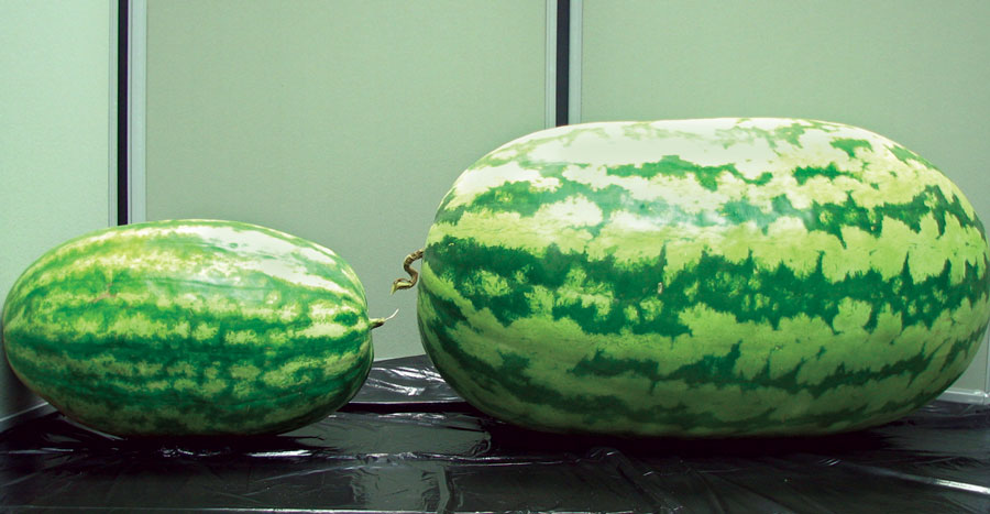 comparison of SumaGrow treated vs untreated watermelon