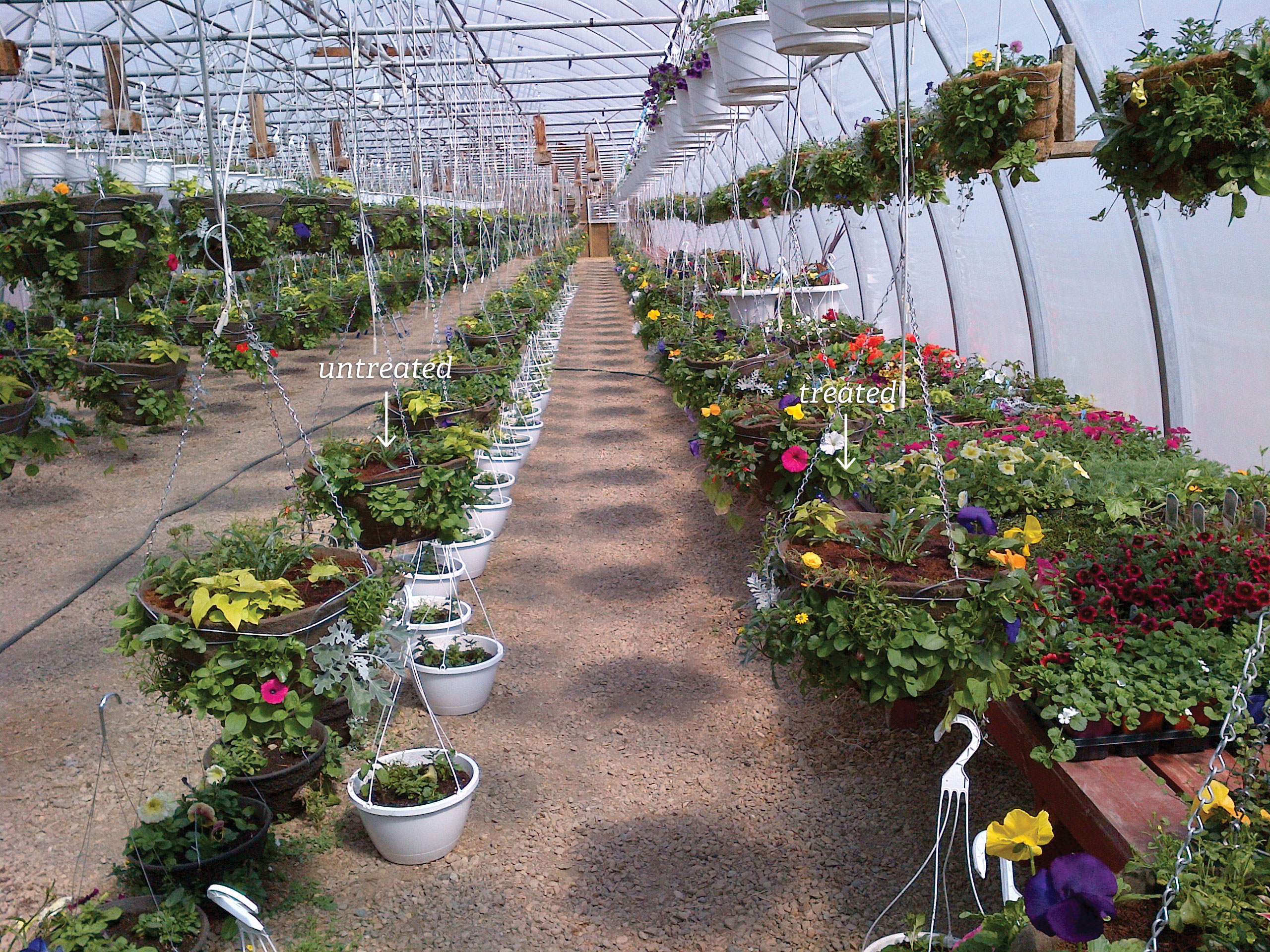 SumaGrow treated nursery flowers compared with untreated
