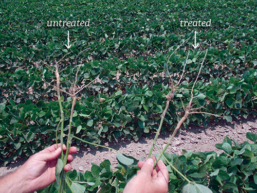 SumaGrow treated soybean roots compared with untreated roots