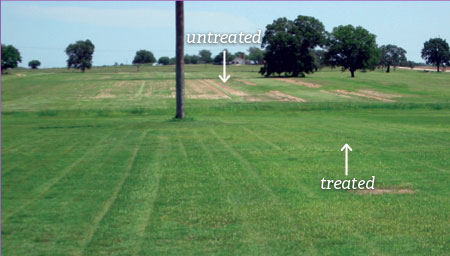 SumaGrow treated grass compared to untreated grass on a sod farm in Texas